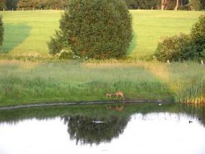 Ricke und Kitz am Teich
