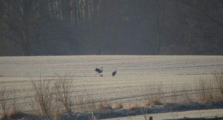 Lindhöft Kraniche auf der Winterkoppel